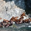 Yacht Charter Alaska, sea lions near the yacht